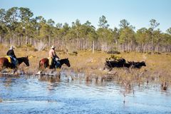 Cowboy herds his cattle through marshland Royalty Free Stock Images