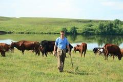 Cowboy mit Kühen Stockfoto