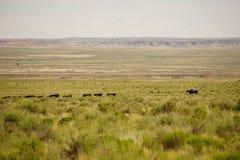 Cowboy moving cows Stock Photos