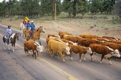 Cowboy navajo che raduna il bestiame sulla strada, AZ Immagine Stock