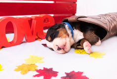 Cowboy Puppy Stock Images