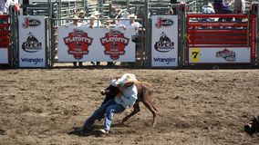 Cowboy que wrestling um boi Imagem de Stock