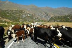 Cowboy. Riding a horse and his livestock (New Zealand royalty free stock photos
