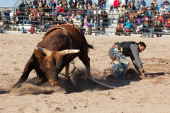 Cowboy Rodeo Bull Riding. Indian cowboy rodeo bull riding in Arizona Royalty Free Stock Images