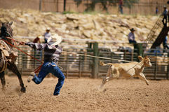 Cowboy roping calf Stock Photos