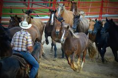 Cowboy Rounding up Horses. A cowboy rounds up the horses at the Walworth County Fair in Elkhorn, Wisconsin Royalty Free Stock Photo