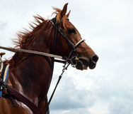 Cowboy's Chestnut Horse Royalty Free Stock Photo
