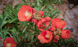 Cowboy's Delight or Copper Mallow Wildflowers. Red-orange Cowboy's Delight or Copper Mallow Wildflowers with small water droplets on petals Stock Image