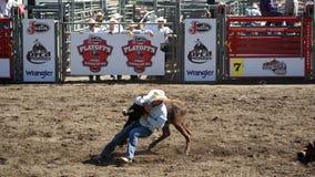 Cowboy som brottas en steer Fotografering för Bildbyråer