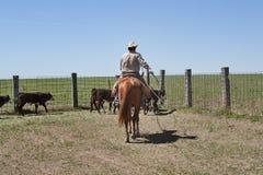 Cowboy sul cavallo che raduna il bestiame con la corda del lazo Fotografia Stock