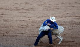 Cowboy taking down bull at rodeo stock photography