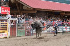 Cowboy thrown into air by bucking bull at stampede. Williams Lake, British Columbia/Canada - July 2, 2016: bull throws cowboy into the air at a bull riding Royalty Free Stock Photography