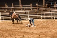 Cowboy Ties His Calf At Rodeo in South Dakota Royalty Free Stock Photography