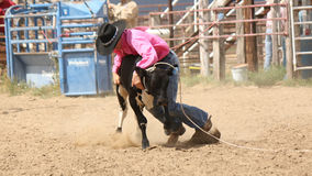 Cowboy up. Cowboy wrestling a calf that he has roped Royalty Free Stock Image