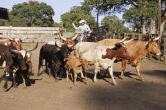 Cowboy vivant en troupe des bétail Photo stock
