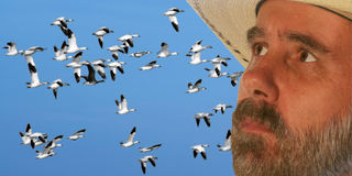 A Cowboy Watches A Flock of Snow Geese Stock Photo