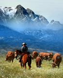 Cowboy watching the herd. Of cows in a flowered field at the foot of snowy mountains in spring Royalty Free Stock Photo