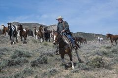 Cowboy wrangler riding paint horse leading herd of galloping horses at a gallop royalty free stock images
