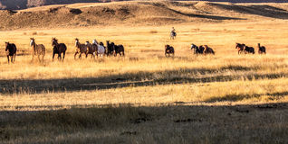 Free Cowboy Wrangling A Herd Of Horses Royalty Free Stock Photos - 91676598
