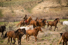 Cowboy wrangling up herd of horses in roundup Stock Photo