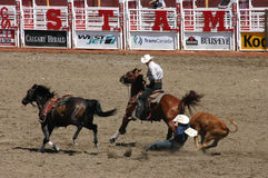 Cowboy wrestling steer to the ground. CALGARY CANADA JULY 2004 -  Cowboy wrestling steer to the ground, , Calgary Stampede, Alberta, Canada Stock Image