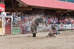 Cowboyen kastas för att grunda och trampas nästan, genom att sparka bakut tjuren Royaltyfri Foto