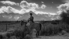 Cowboyen på nötkreatur kör korskor och calv för hopsamling Angus/Hereford fotografering för bildbyråer