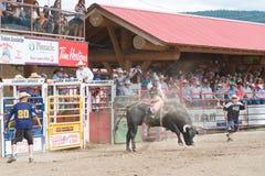 Cowboyen rider att sparka bakut tjuren in i arenan medan folkmassaklockor Royaltyfri Bild