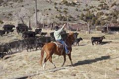 Cowboyer och hästar som flyttar kor Arkivfoton