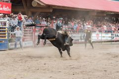 Cowboyritter som sparkar bakut tjuren som åhörarejubel Royaltyfri Bild