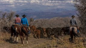 Cowboys on Cattle Drive Gather Angus/Hereford cross cows and cal. OCTOBER 2017, Ridgway, Col.orado: Cowboys on Cattle Drive Gather Angus/Hereford cross cows and stock photos
