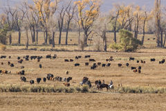 Cowboys and cattle Royalty Free Stock Images