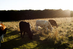 Cowboys dream. Cows eating grass on the sunset is cowboys dream Royalty Free Stock Photos
