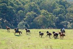 Cowboys Herding Running Wild Horses. Horseback riders herding galloping wild horses in a stunningly beautiful Australian landscape stock photos
