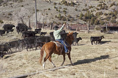 Cowboys and horses moving cows Stock Photos