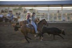 Cowboys lassoing cow stock photo
