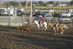 Cowboys lassoing cow at PRCA Rodeo Stock Image