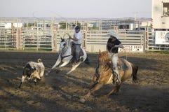 Cowboys lassoing la vache Images libres de droits