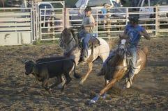 Cowboys lassoing la vache Photos stock