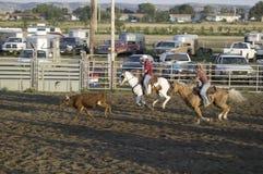 Cowboys lassoing la vache au rodéo de PRCA Image stock