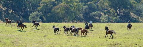 Cowboys Pursuing Wild Horses. Cowboys pursue wild horses racing across the valley plains in a beautiful countryside on a bright sunny day stock images