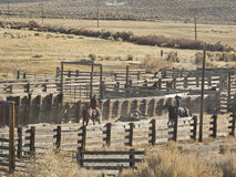 Cowboys roping cattle in the corral Royalty Free Stock Photos