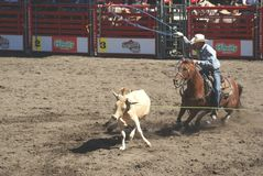 Cowboys team roping. Stock Images