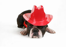 Cowdog Foto de Stock Royalty Free