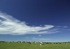 Cowes in field under a summer sky Royalty Free Stock Image