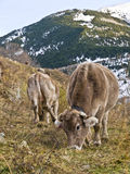 Cowes Grazing in a Mountain Royalty Free Stock Image