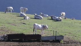 Cowes and horses in the mountains stock video