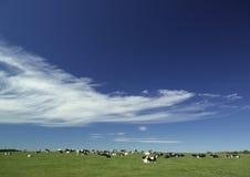 Cowes nel campo sotto un cielo di estate Immagine Stock Libera da Diritti