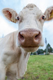 Cowface. Cow at the pasture Summer royalty free stock image