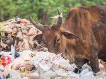 Cowfeed op de afvalstapel Stock Foto